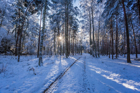 natue: Winter snowy forest in the morning in winter Stock Photo