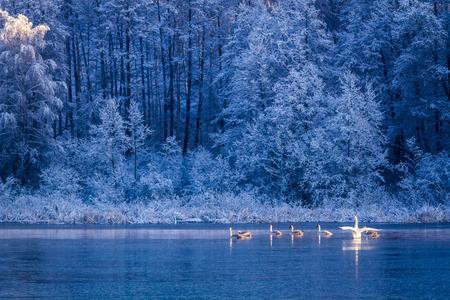 Swans at sunrise on winter lake photo