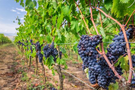 Ripe grapes in a vineyard, Tuscany photo