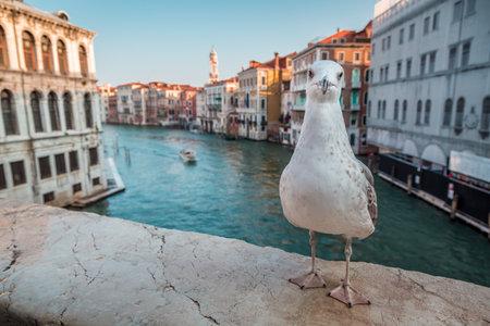 rialto bridge: Seagull on the Rialto Bridge in Venice Editorial