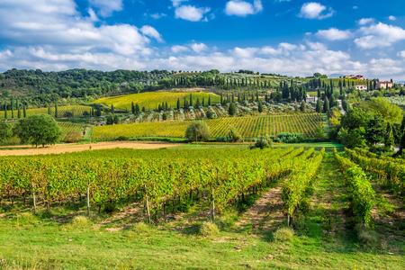 montalcino: Vineyard near Montalcino in Tuscany
