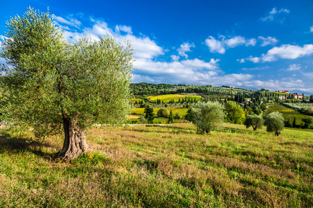 olive farm: Olive trees and fields in Tuscany Stock Photo