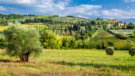 olive farm: Olive trees and vineyards in Tuscany Stock Photo