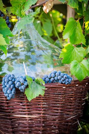 demijohn: Grapes, demijohn and wicker baskets