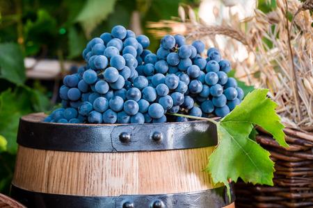 demijohn: Barrel full of dark grapes