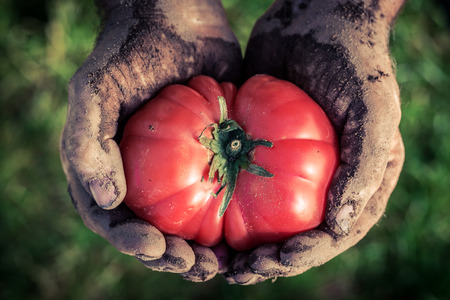 Freshly harvested tomato in hands Stock Photo