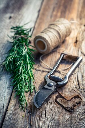 pruning scissors: Healthy rosemary on old wooden table Stock Photo