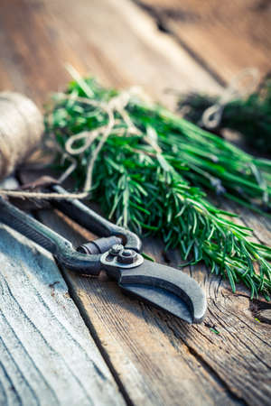 pruning scissors: Freshly harvested rosemary on old wooden table Stock Photo