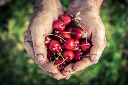 Freshly harvested cherries in hands Stockfoto