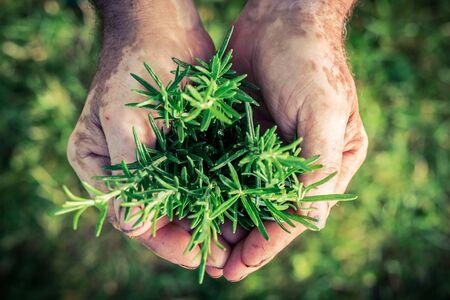 harvest: Freshly harvested rosemary in hands Stock Photo