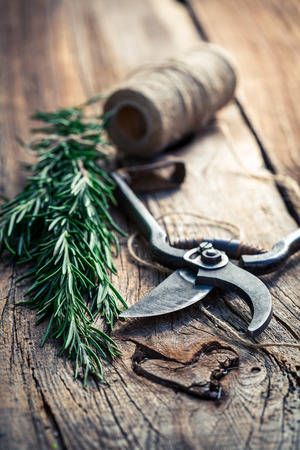 pruning scissors: Fresh rosemary on old wooden table