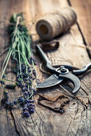 pruning scissors: Aromatic lavender before drying