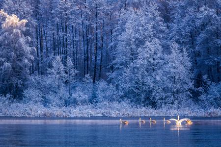 Zwanen bij zonsopgang op de winter meer Stockfoto