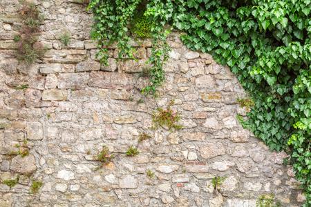 배경으로 아이비와 오래 된 돌 담