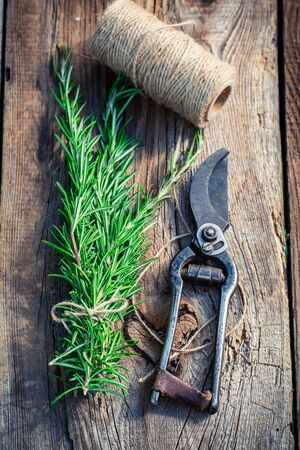 pruning scissors: Healthy rosemary before drying