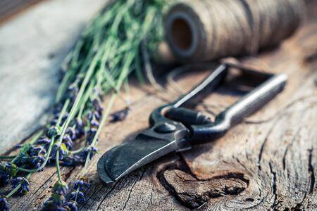 pruning scissors: Healthy lavender before drying