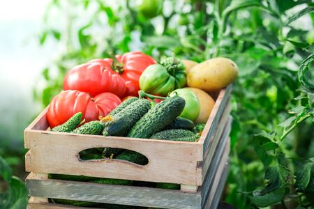 harvest organic: Fresh tomatoes and cucumbers in greenhouse