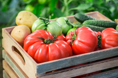 organic farm: Various tomatoes and cucumbers to groceries