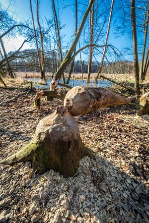 backwater: Tree felled by beavers in the woods at the backwater