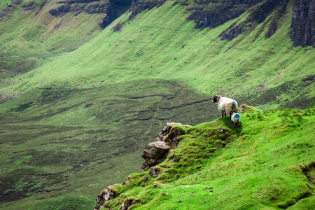 Stunning view to sheeps in Quiraing, Scotland, United Kingdom