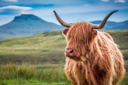 スカイ島、スコットランドのハイランド牛の毛皮のような 写真素材