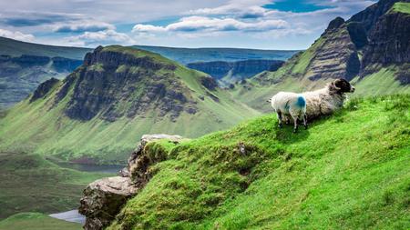 Sheeps in Quiraing, Scotland, United Kingdom
