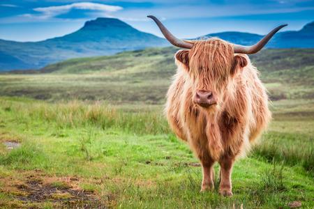 skye: Highland cow in Isle of Skye, Scotland Stock Photo