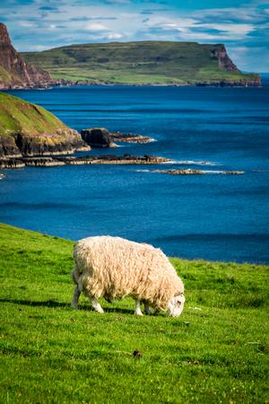 isles: Sheeps on the coast, Scotland, United Kingdom
