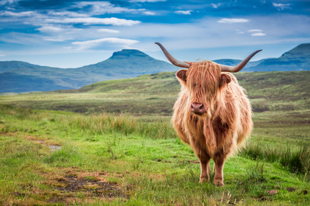 Grazing highland cow in Isle of Skye, Scotland 免版税图像