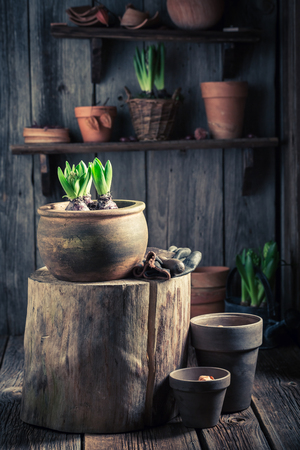 Repotting green plants and old clay pots