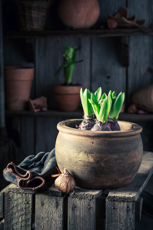 Planting a green crocus in big red clay pot