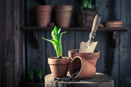 Young spring flowers in red clay pot