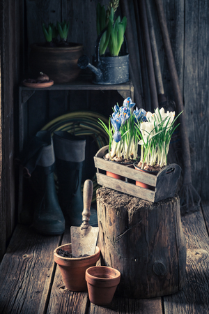 Repotting a hyacinth in the rustic wooden cottage