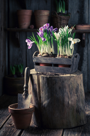 Repotting a colourful hyacinth in an old wooden box Stock Photo