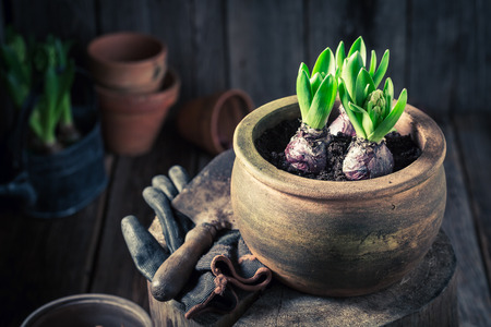 Repotting green plants and old clay pots in wooden hut Stock Photo