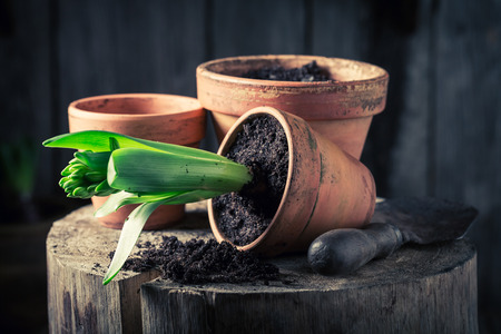 Repotting a green crocus and dark soil in clay pots