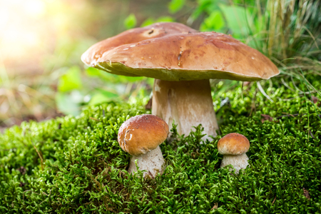 여름에는 새벽에 이끼에 Boletus 버섯