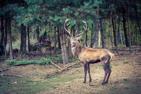 Großer erwachsener Hirsch im Wald im Herbst Standard-Bild - 83021508
