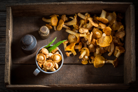 Healthy chanterelles freshly harvested from the forest