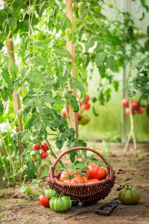 Gezonde verschillende tomaten in oude rieten mand Stockfoto