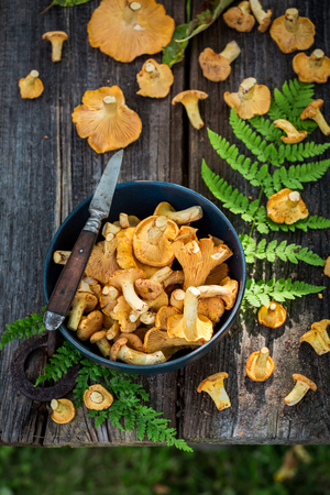 Fresh and wild chanterelle mushrooms straight from the forest