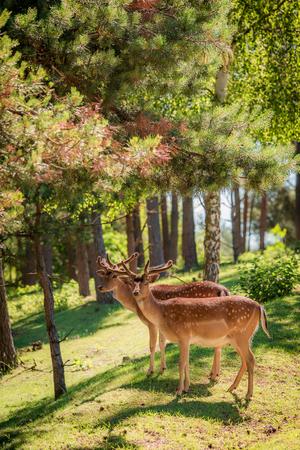 明け方、ヨーロッパの森の美しい鹿