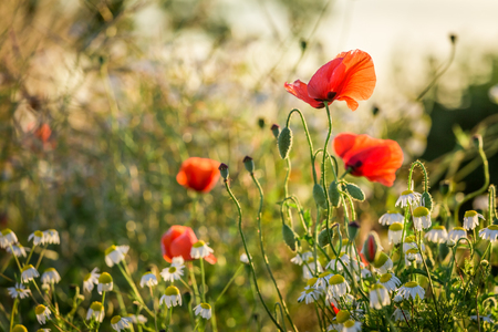 Beautiful poppy seed in the field at sunrise, Europe