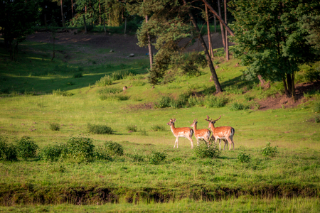 Beautiful deers in forest in summer, Europe