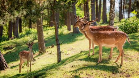 새벽, 유럽의 숲에 멋진 사슴