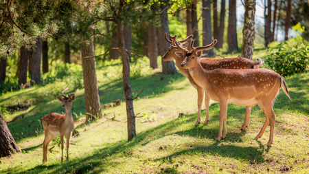 Wonderful deers in forest at dawn, Europe