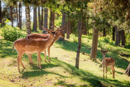 화창한 날, 폴란드, 유럽에서 포리스트의 아름 다운 사슴 스톡 콘텐츠