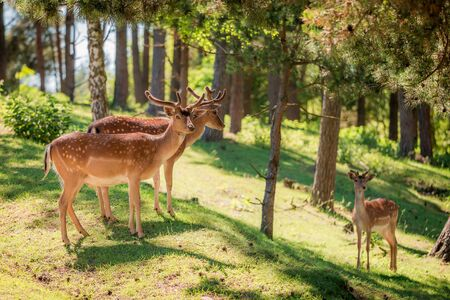 Beautiful deers in forest at sunny day, Poland, Europe