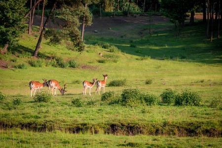 夏の森の中の美しい鹿、ポーランド、ヨーロッパ 写真素材