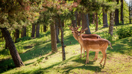 夜明けの森の中の素晴らしい鹿, ポーランド, ヨーロッパ